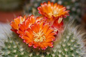 Cactus Pauline Bio pianta in fiore 1